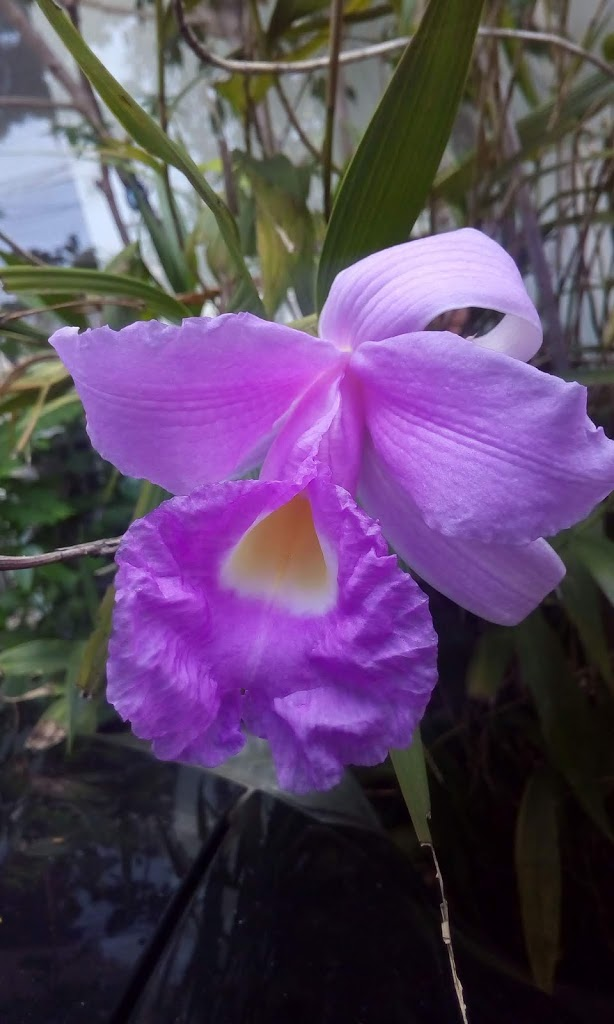 Read more about the article Sobralia macrantha
